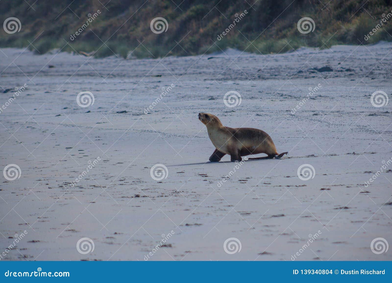 Fur seal walking towards the ocean at Allans beach