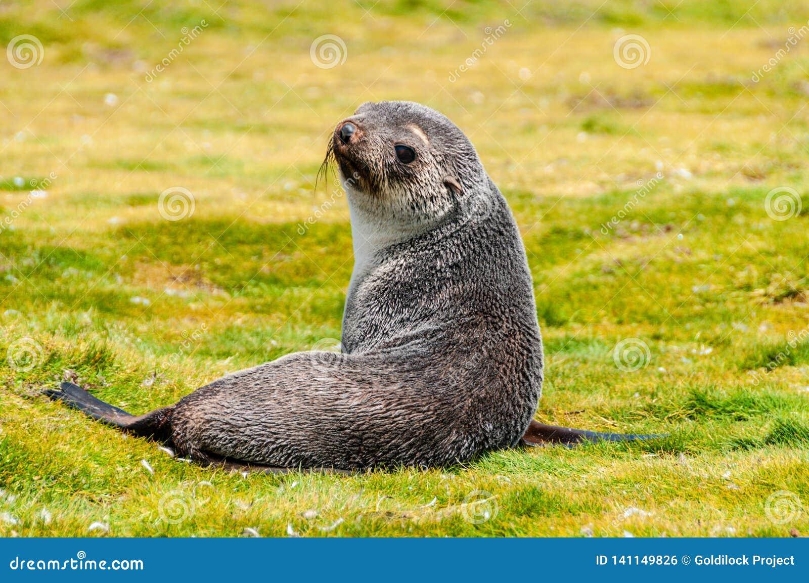 Fur Seals on Salisbury Plains, South Georgia