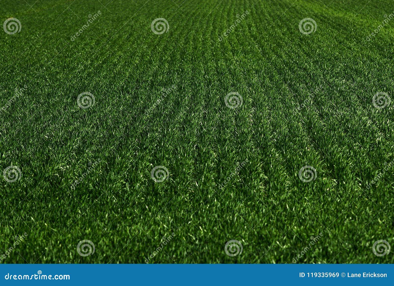 Furchen-Feldfrüchte auf Bauernhof-wachsendem Wachstums-Grün