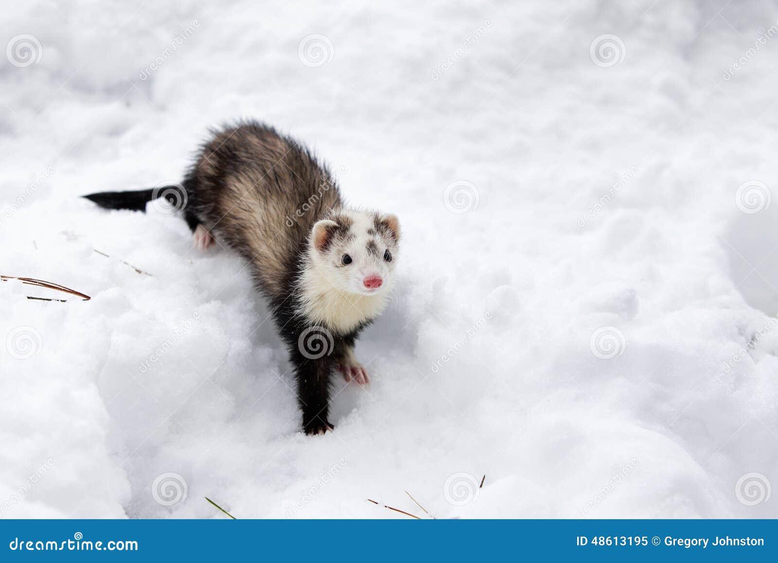 Furet dans la neige photo stock image 48613195 - Prix d un furet ...
