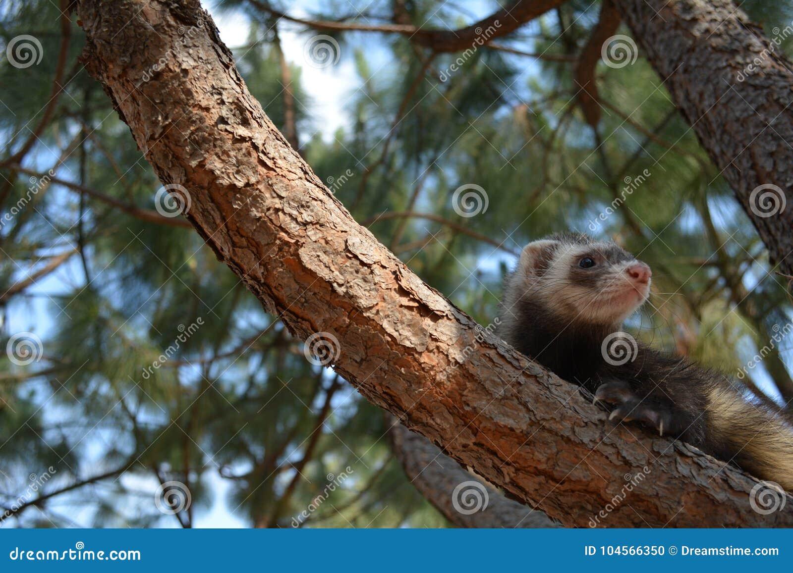 Furet dans le pin