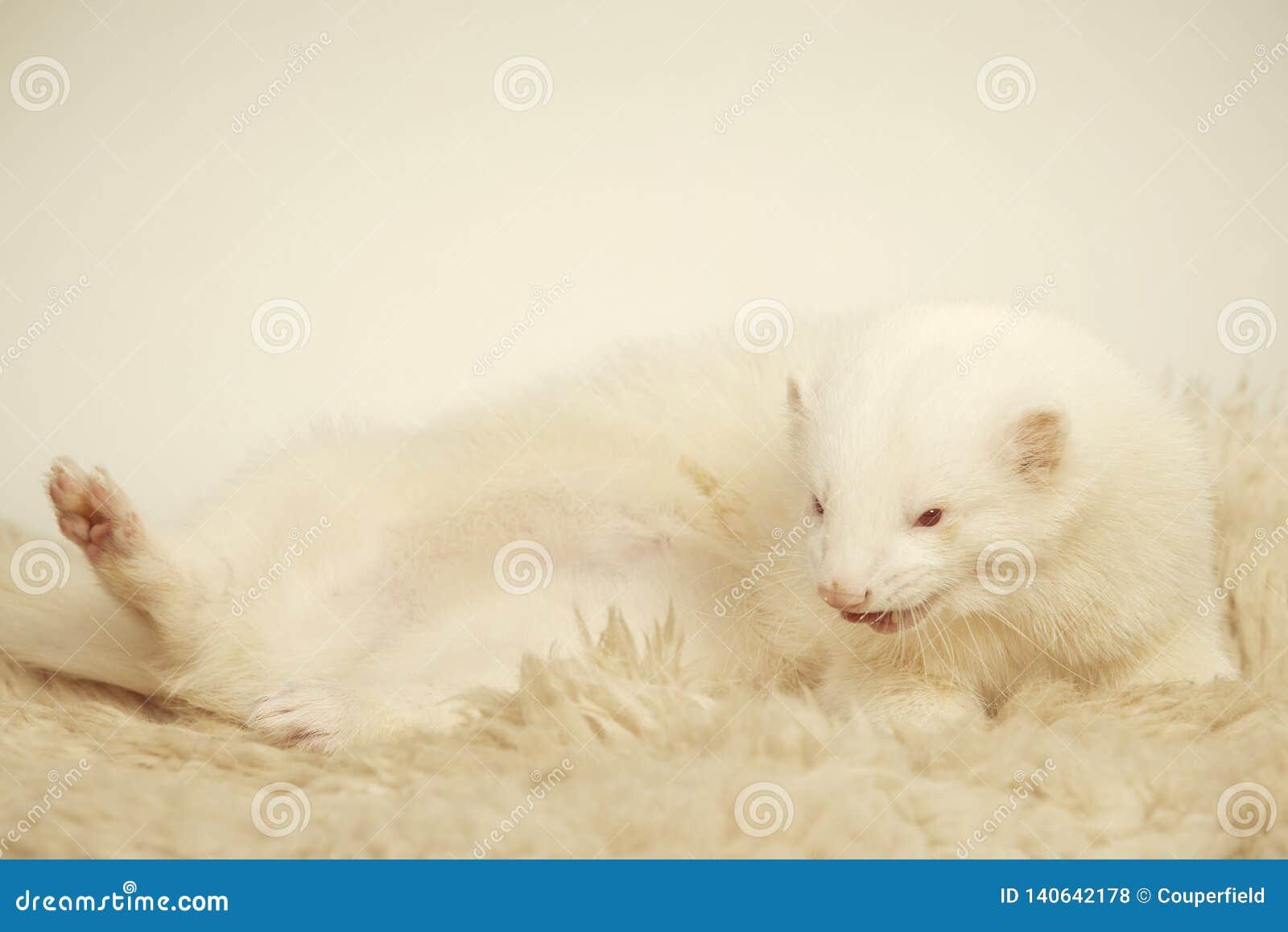 Furet masculin albinos posant pour le portrait sur la fourrure