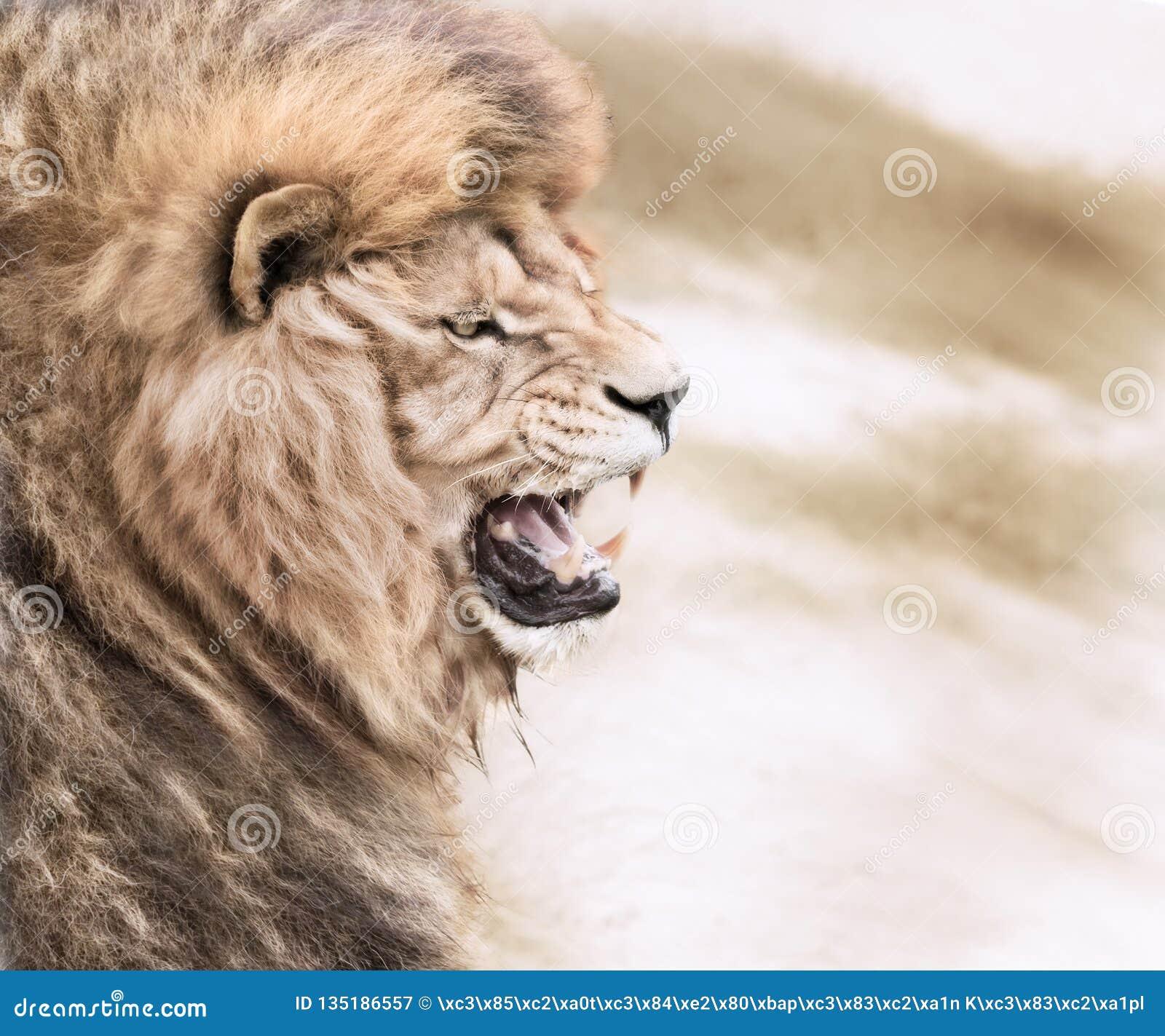 Furious lion stock image  Image of lion, dangerous, fierce