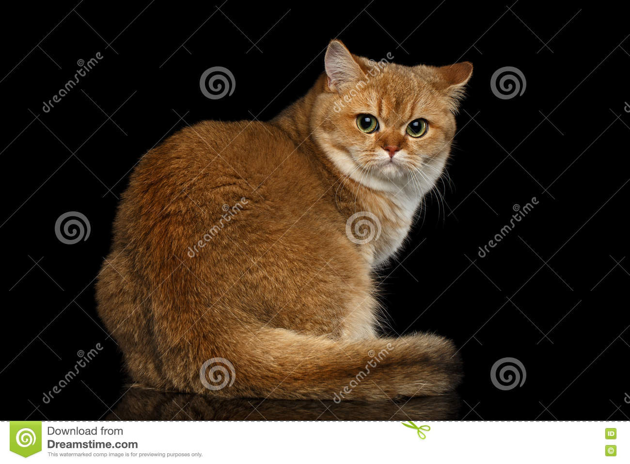 Golden Chinchilla cat: description of the breed, character, characteristics of care and maintenance 78