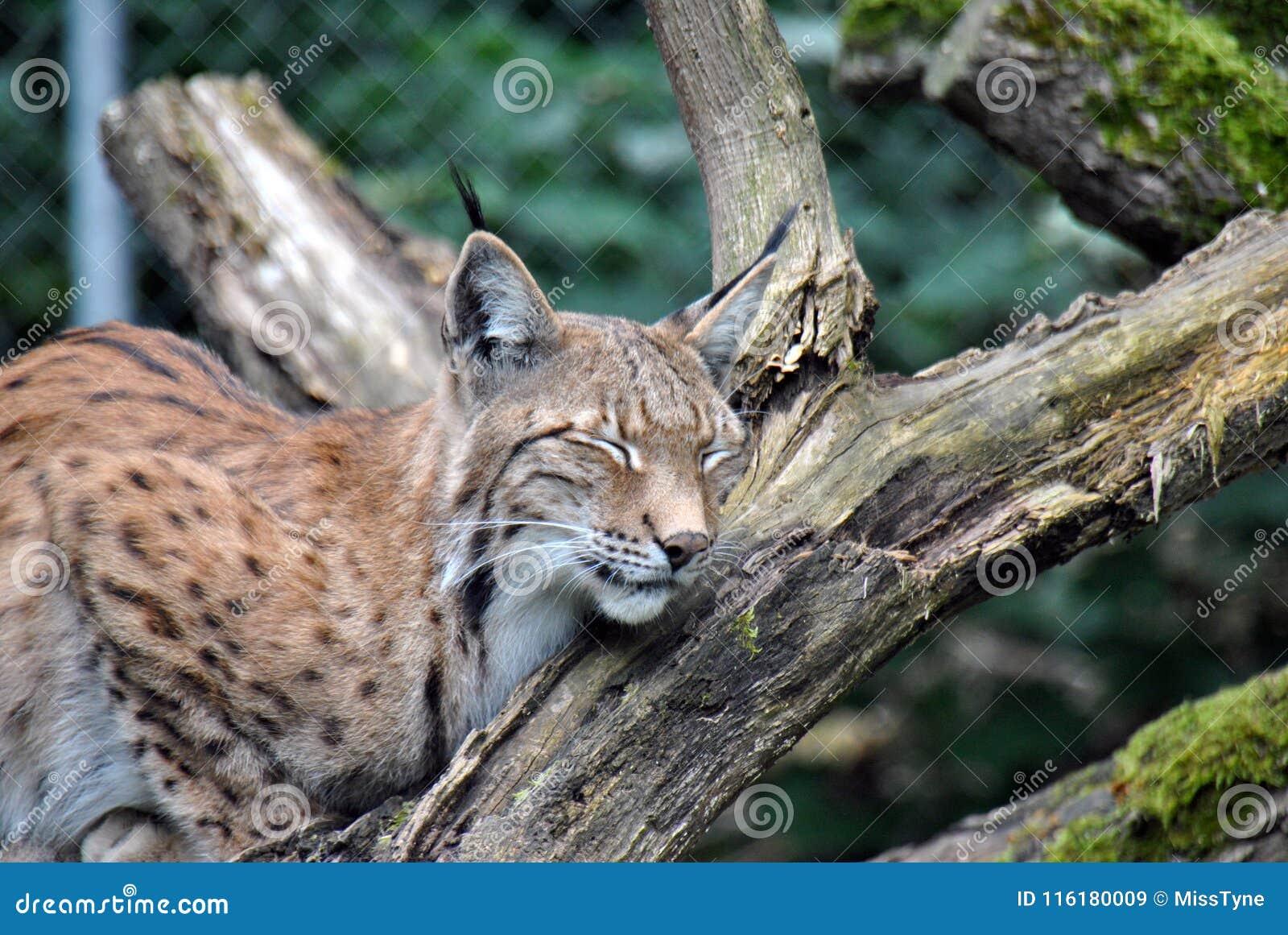 Furry and cute european lynx sleeping on a tree branch