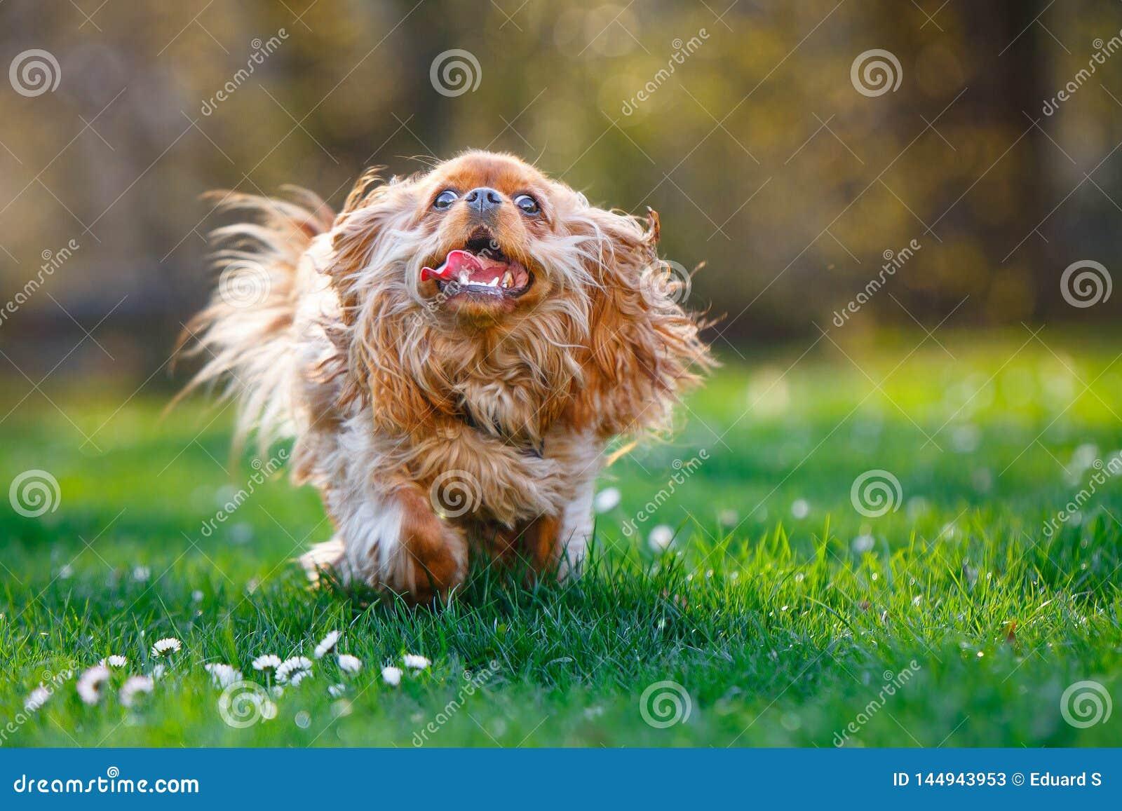 furry ruby cavalier king charles spaniel running outside