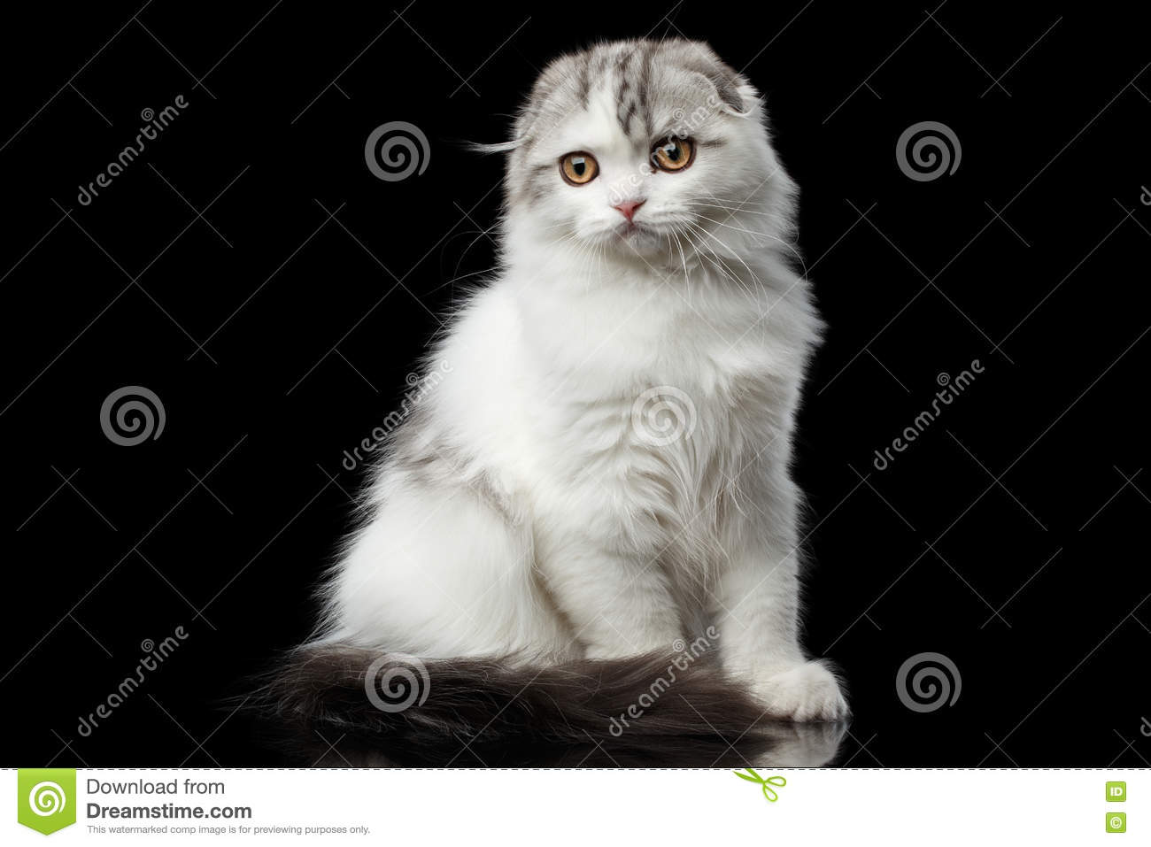 Furry Scottish Fold Br...