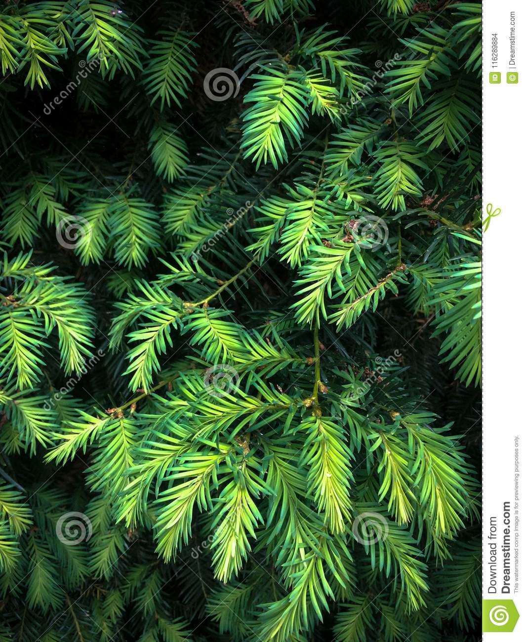 Furry spruce branches