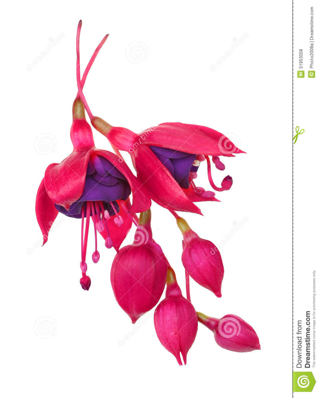 fuschia flower fuschia hybrida stock photo image of