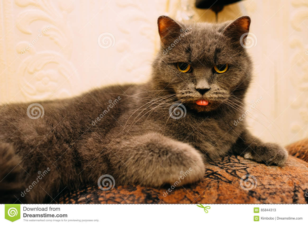 A fussy cat is hungry : It is looking and showing its tongue