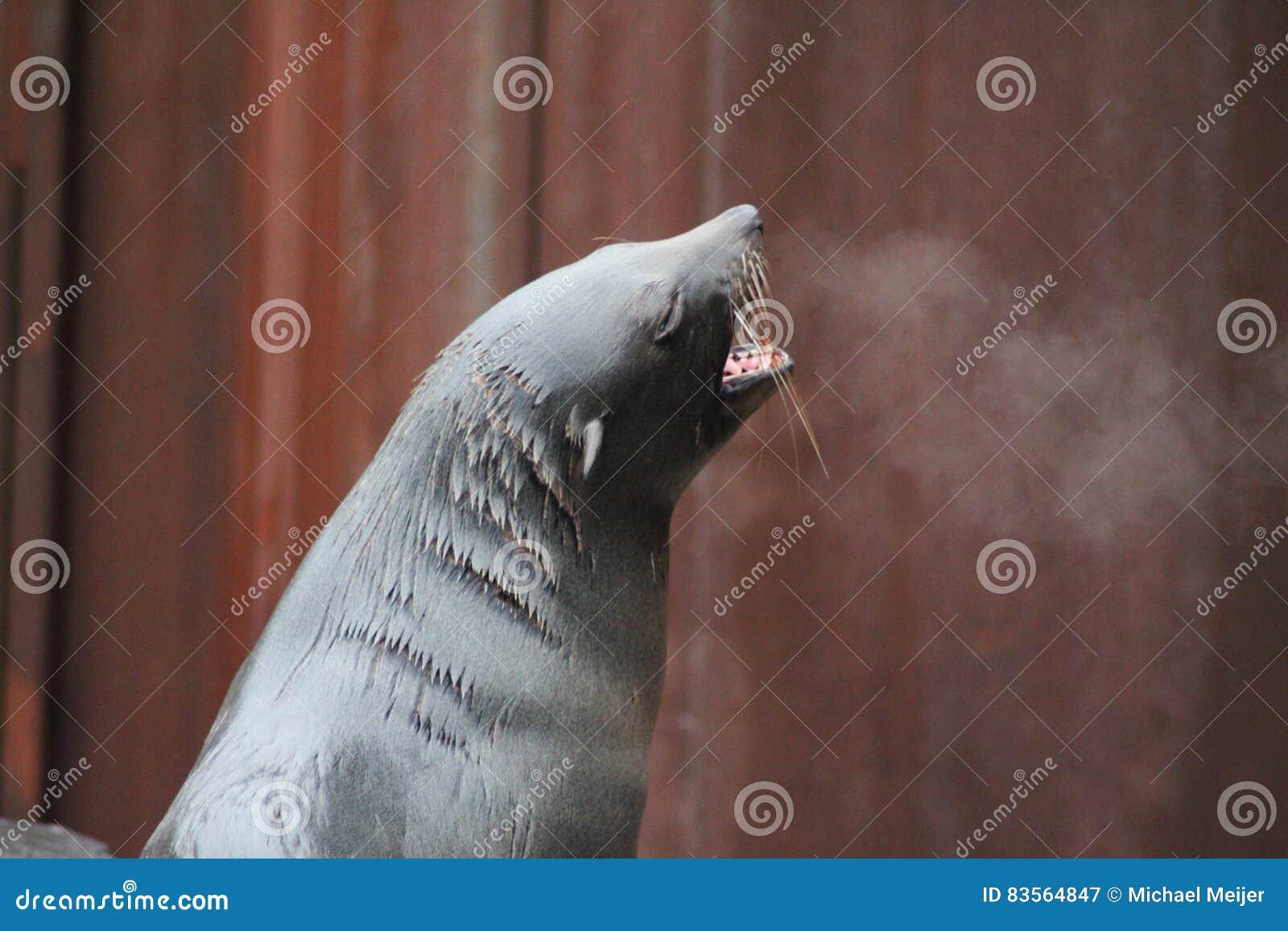 Futerkowej foki warczenie
