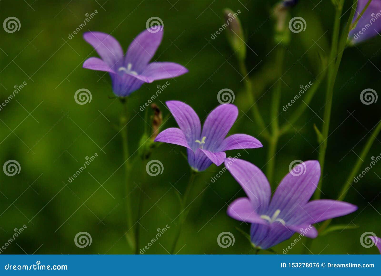 Fuuny kwiat