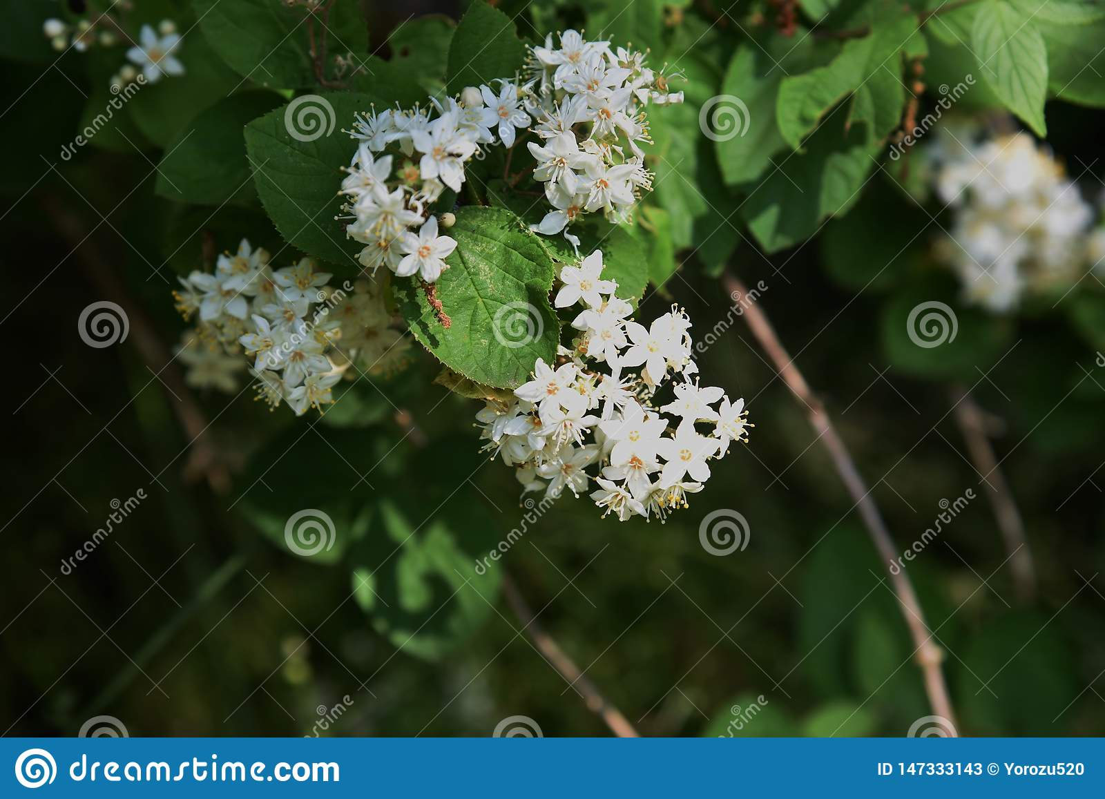 Fuzzy deutzia flowers