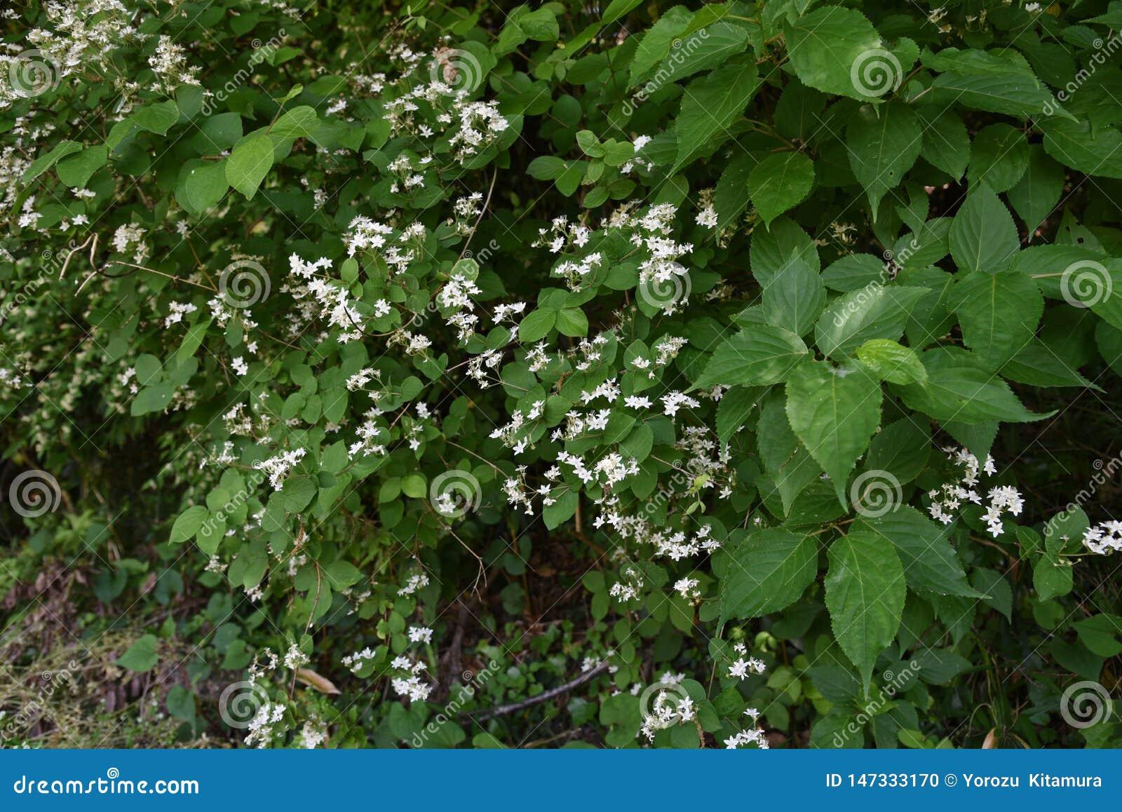 Fuzzy deutzia flowers