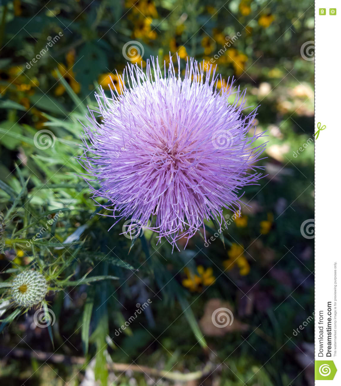 Fuzzy Flower Stock Image Image Of Thorny Flower Wild 76920663