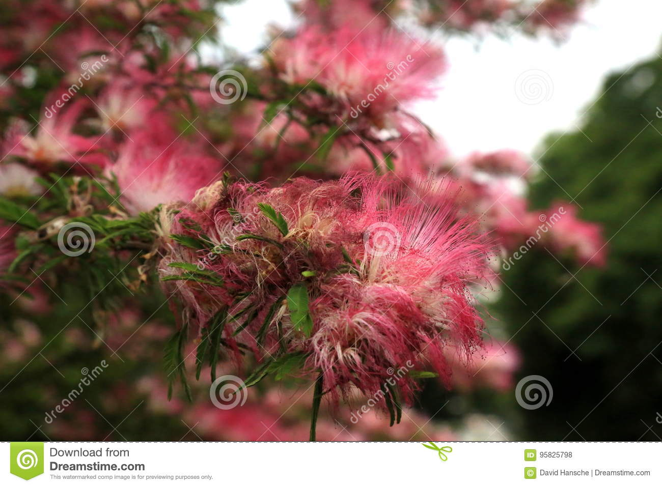 A Fuzzy Persian Silk Tree Stock Photo Image Of Background 95825798
