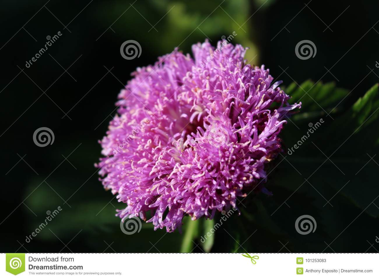Pink Flower Stock Image Image Of Soft Fuzzy Flower 101253083