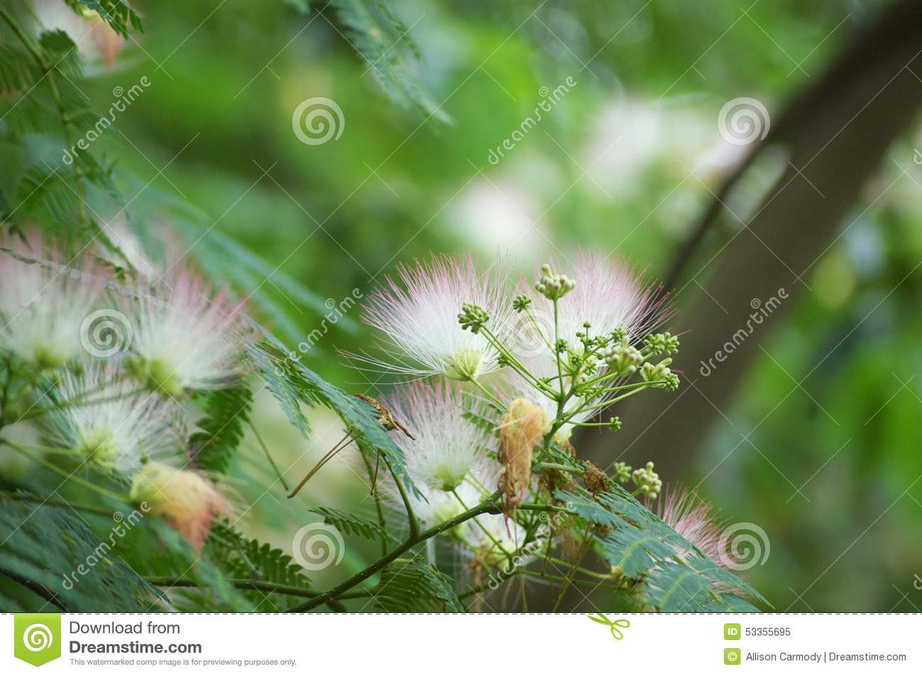 Fuzzy Tree Branch Flowers Stock Image Image Of Pink 53355695
