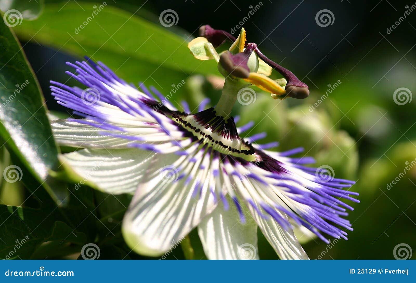 Fv kwiatów pasji
