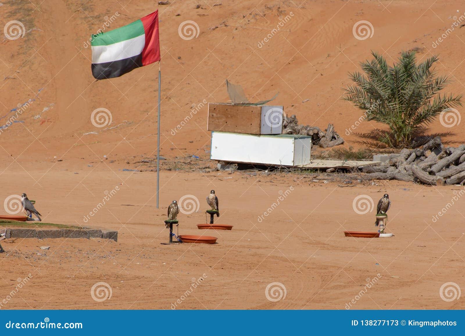 Fyra falkar står på deras utbildande stolpe med UAE sjunker i bakgrunden