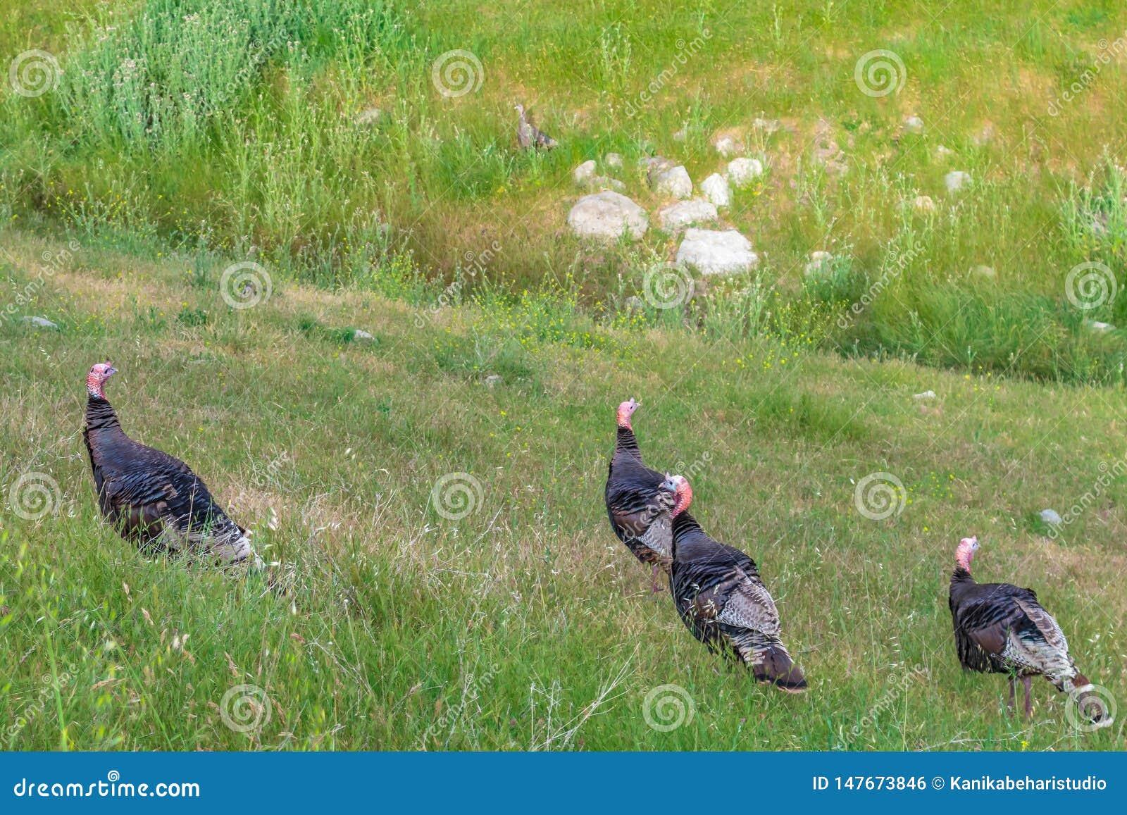 Fyra lösa Turkiet som äter gräs på en bergkulle