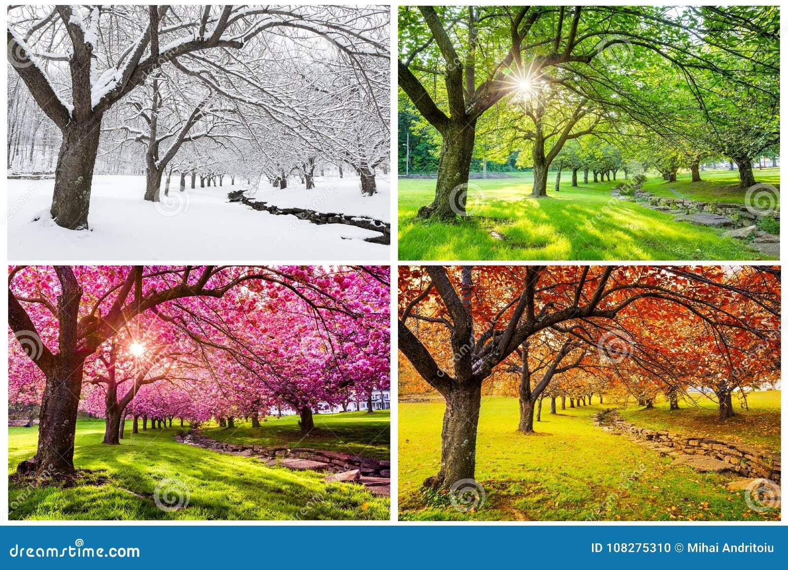 Fyra säsonger med japanska körsbärsröda träd