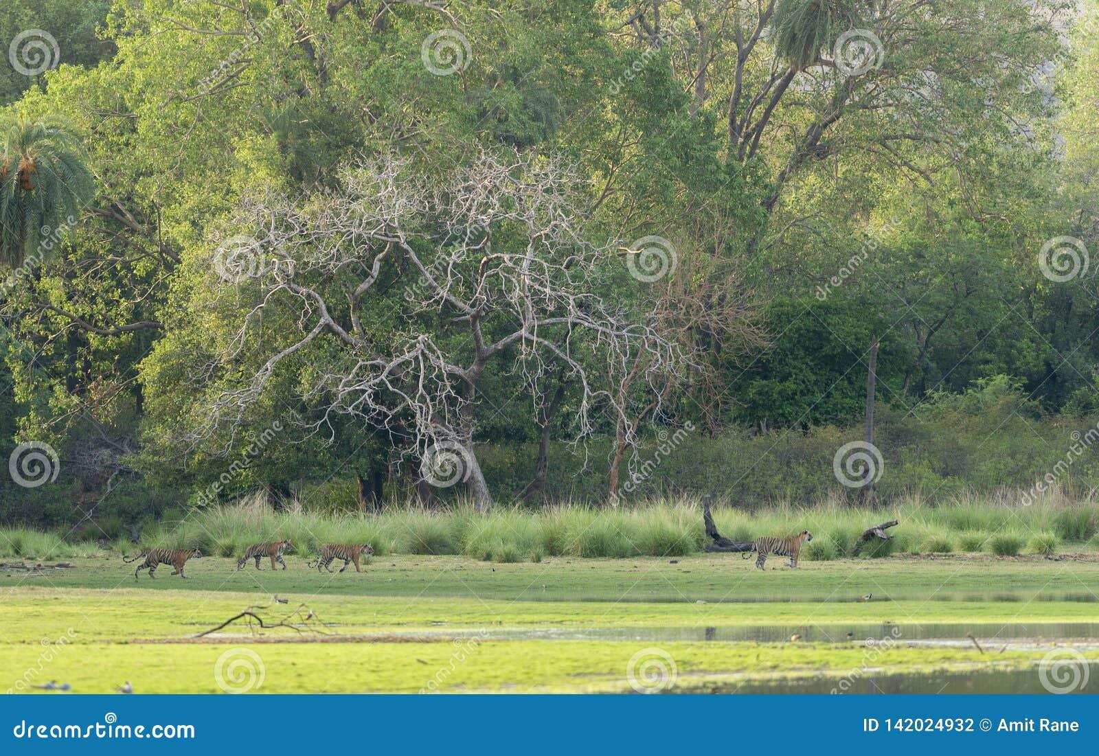 Fyra tigrar som går inmorning ljus i den Ranthambhore nationalparken