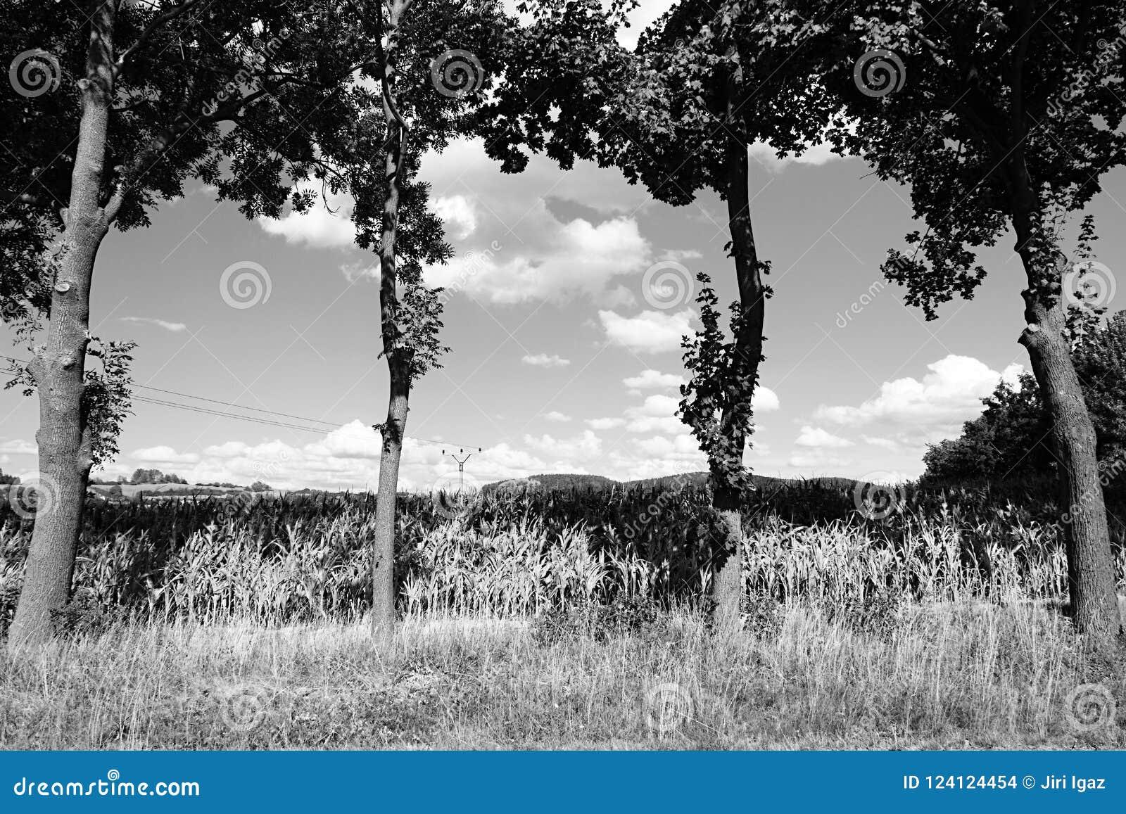 Fyra träd framme av havrefält nära den Volyne staden i tjeckiskt rebublic på 11th august 2018 under sommareftermiddag