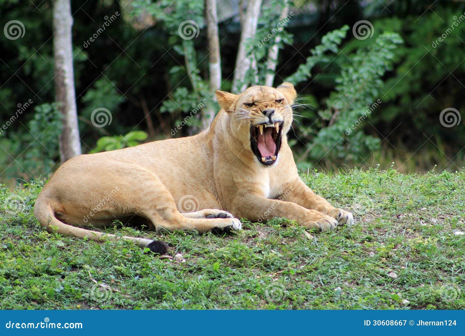 Gähnende Aussehung der Löwin wie Knurren