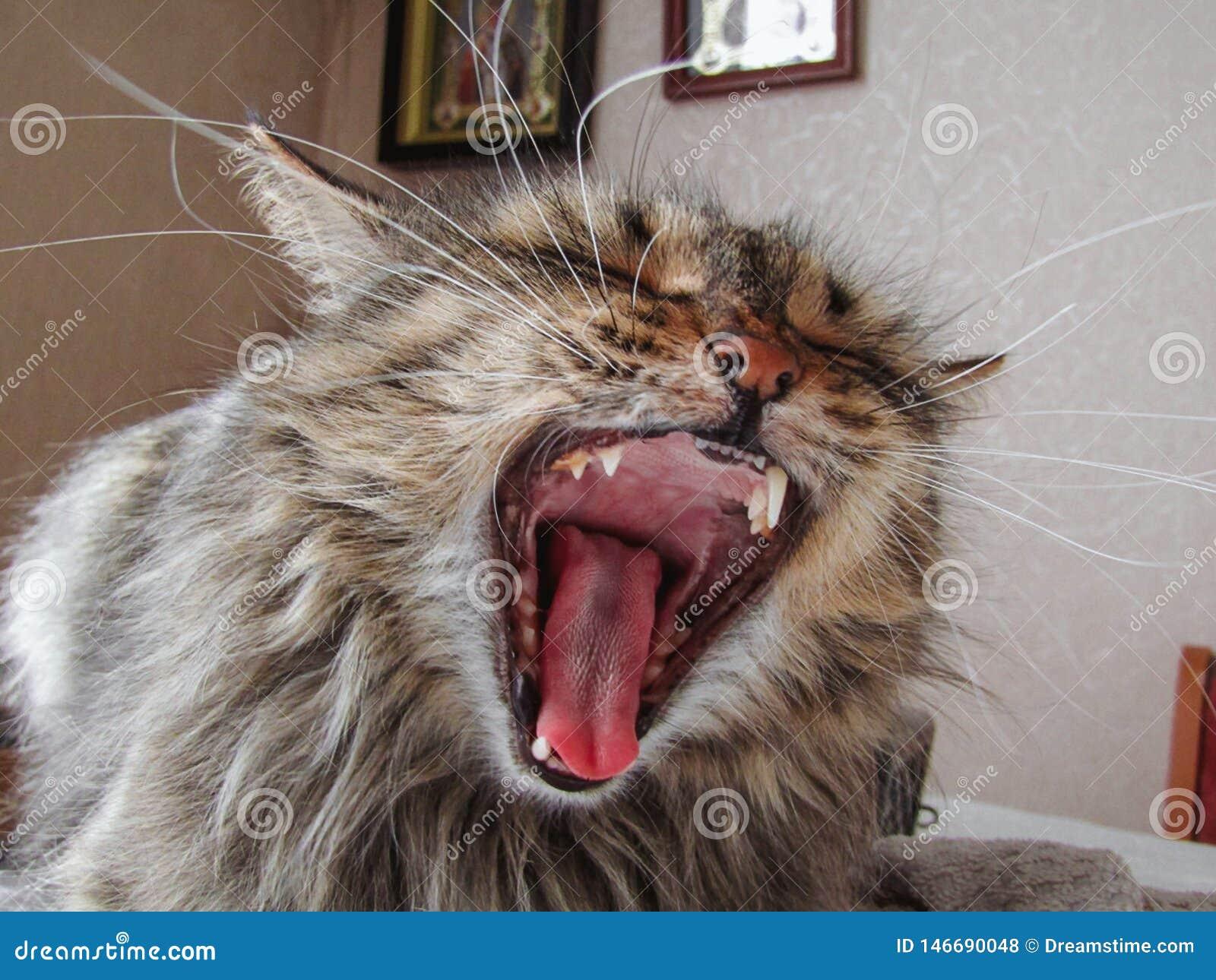 Gähnende Katze, die auf dem Tisch sitzt