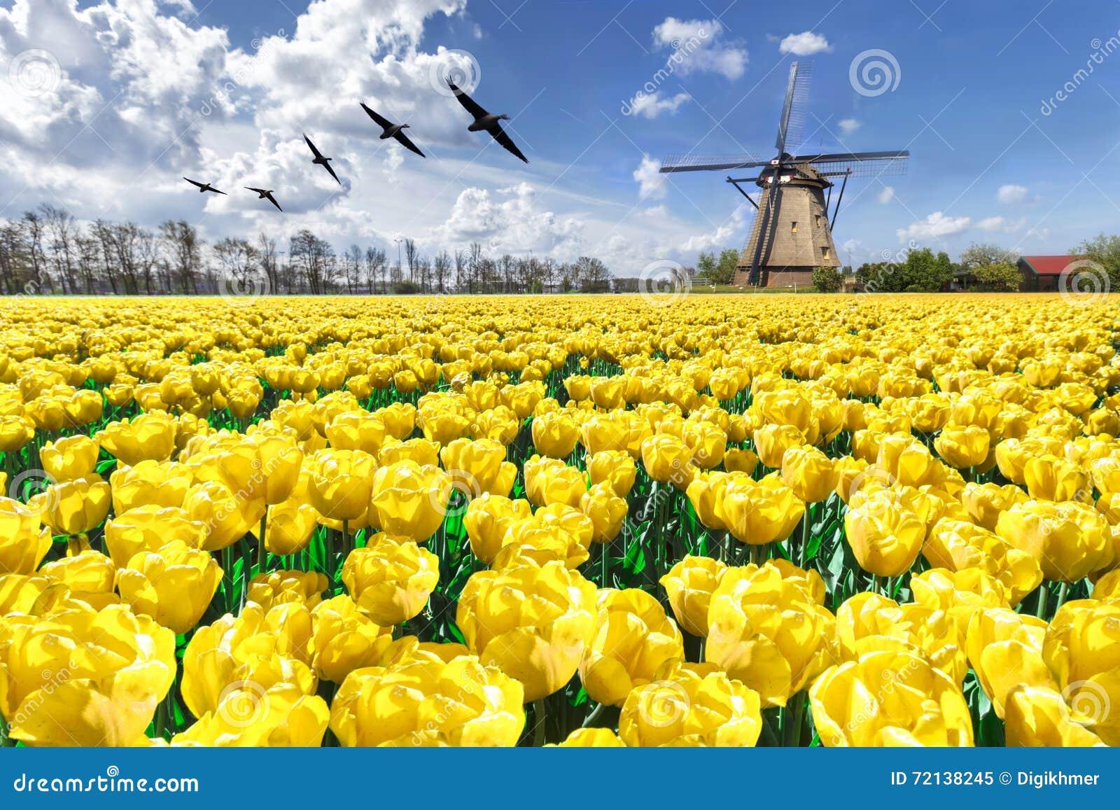 Gänse, die über endlosen gelben Tulpenbauernhof fliegen