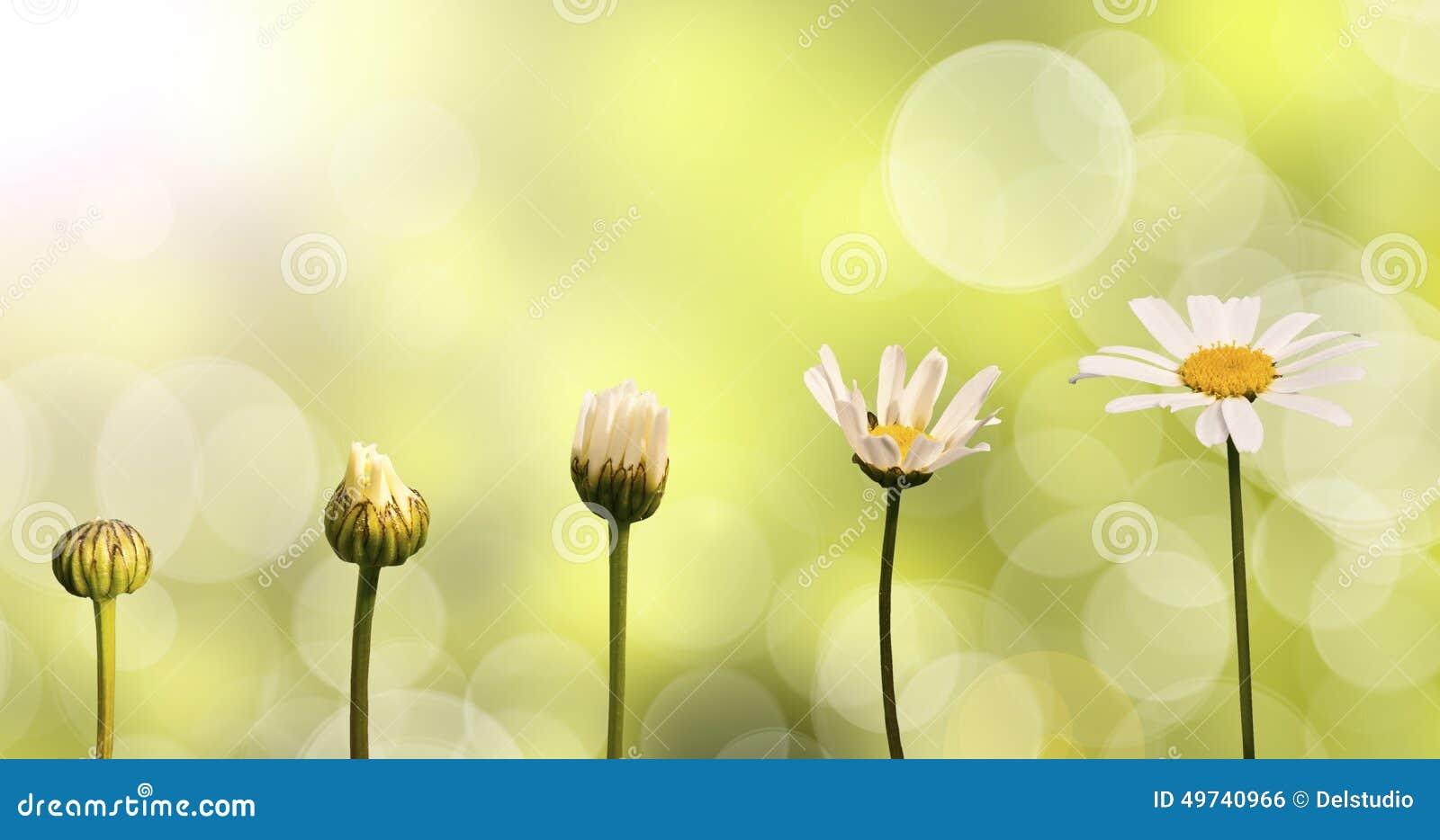 Gänseblümchen auf grünem Naturhintergrund