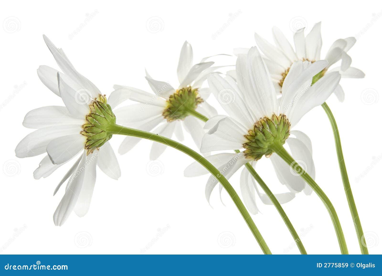 Gänseblümchenblumen