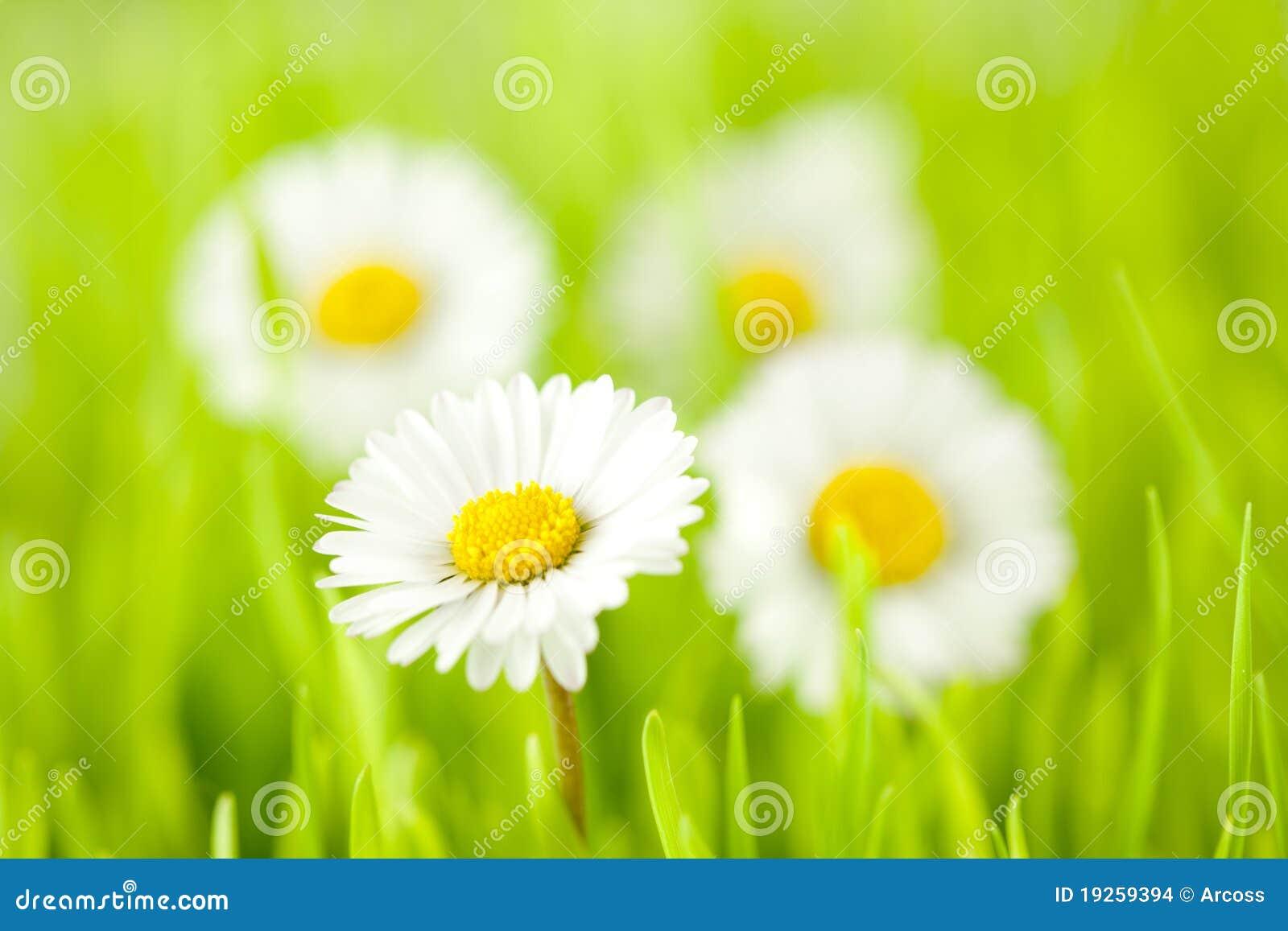 Gänseblümchenfrühling