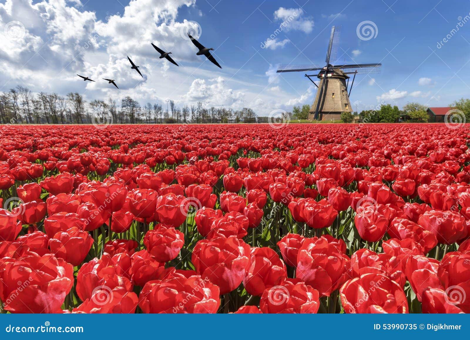 Gäss som flyger över ändlös röd tulpanlantgård