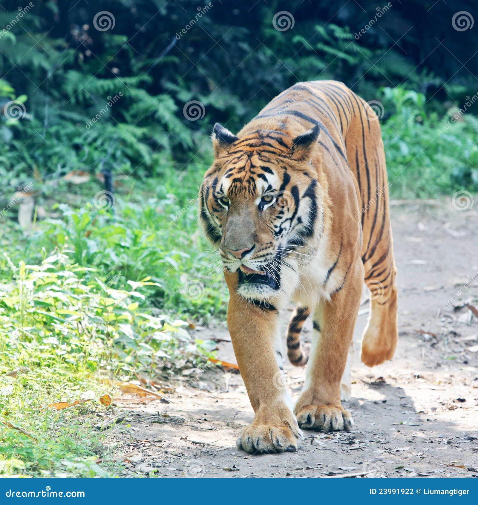 Gå för tiger för porslin 3 södra