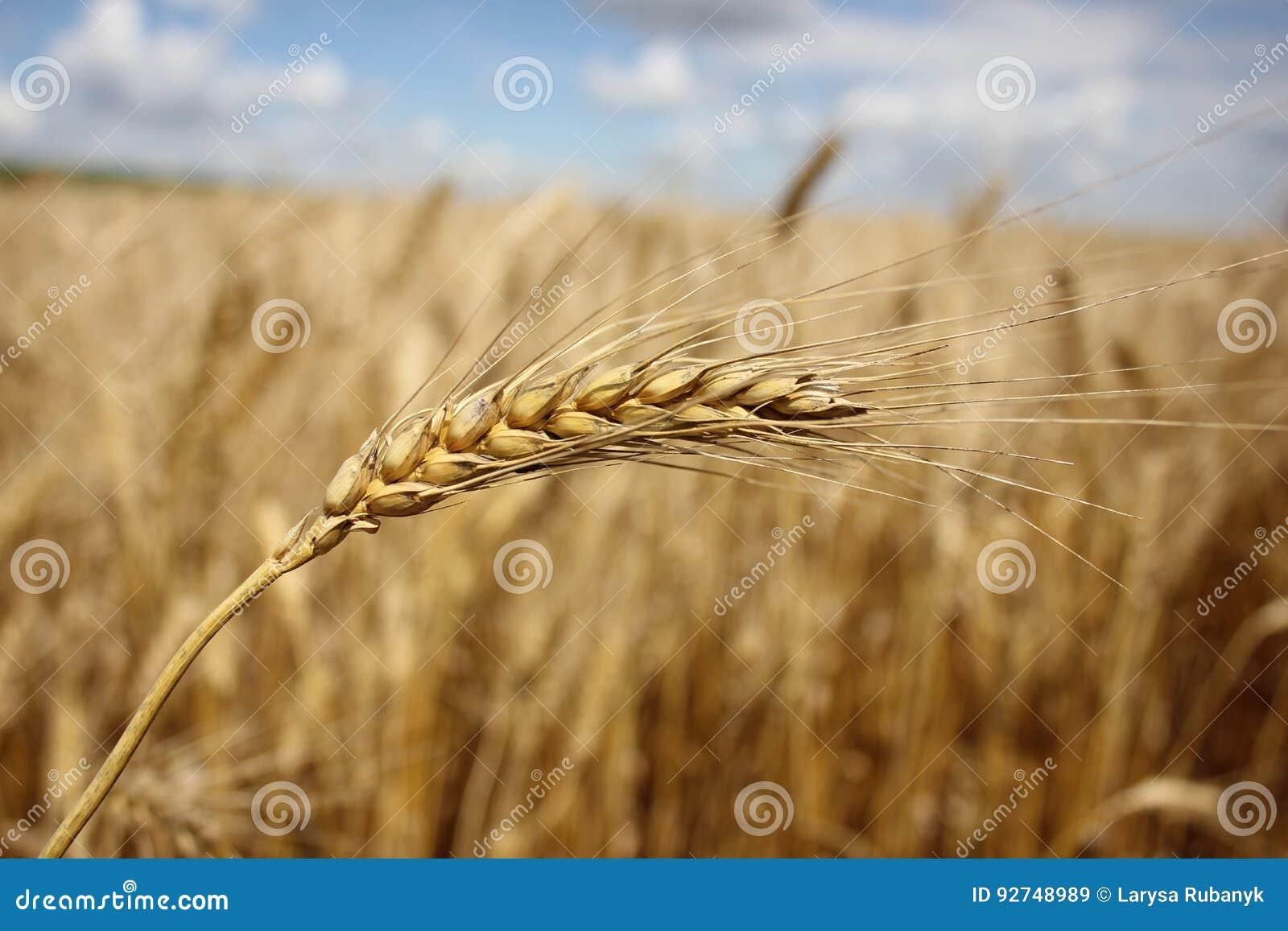 Gå i ax mot bakgrunden av ett vetefält