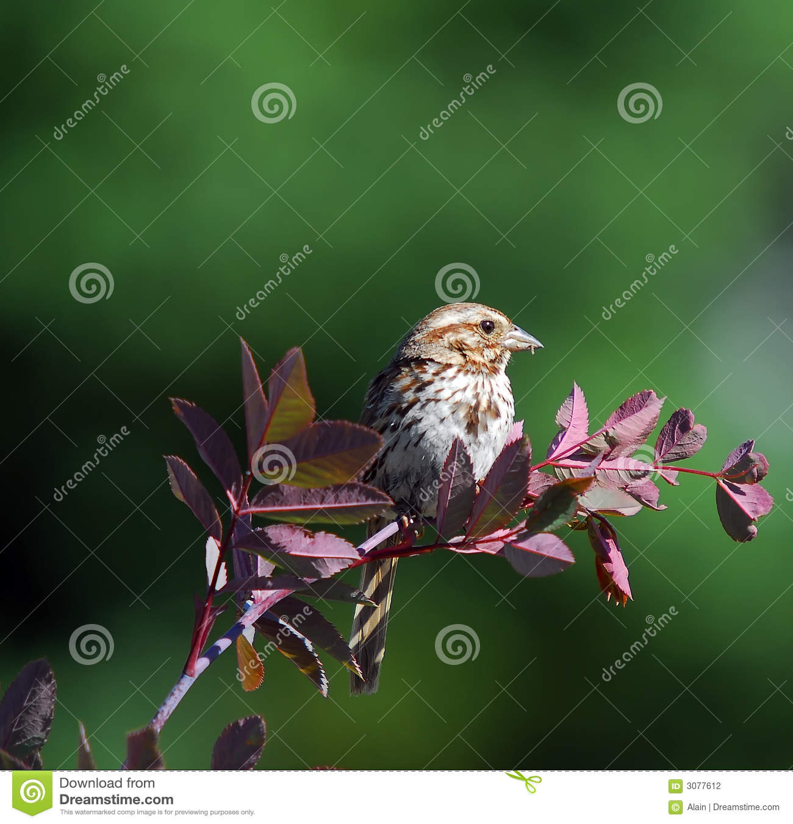 Gå i flisor sparrow