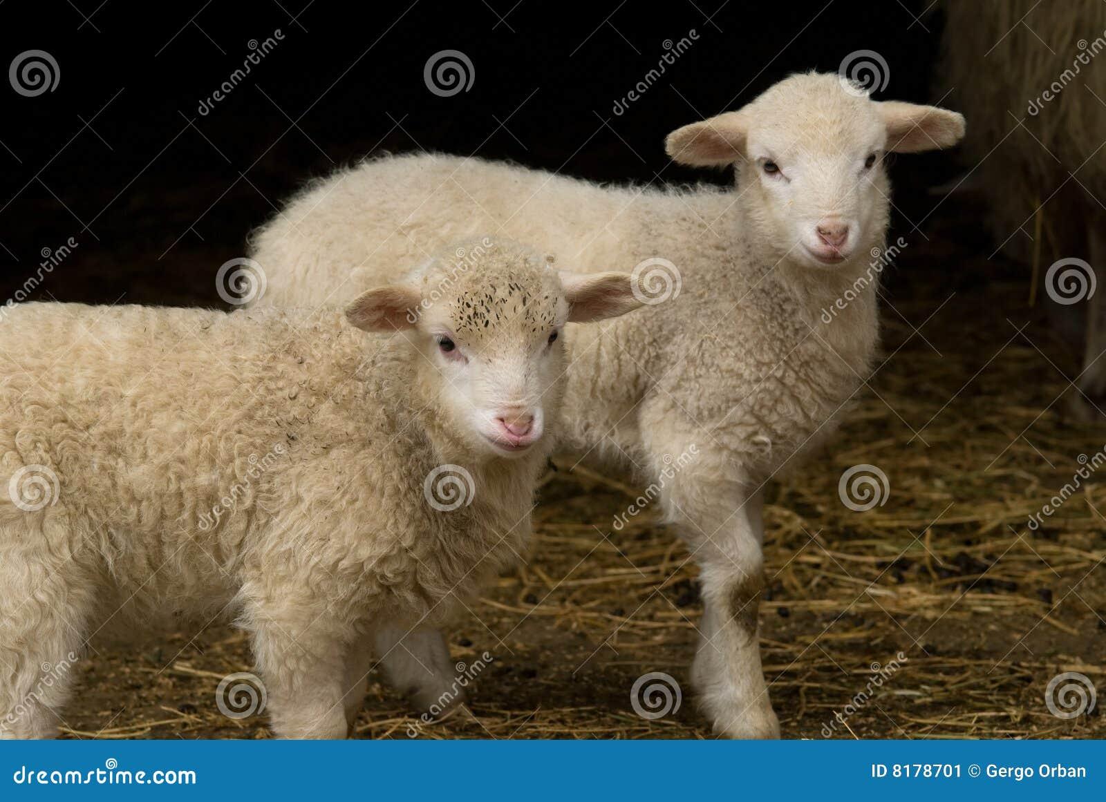 Gêmeos do cordeiro de Easter no celeiro