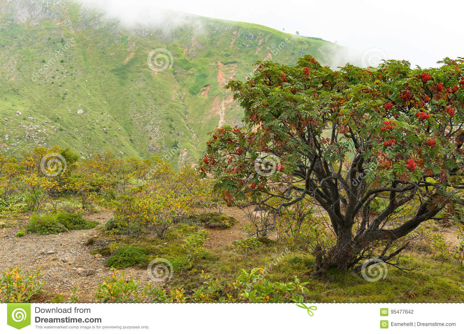 Góra krajobraz z halnego popiółu drzewem z jaskrawym czerwonym berrie