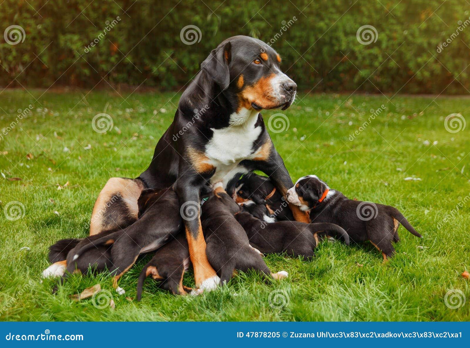 Góra psi szczeniaki