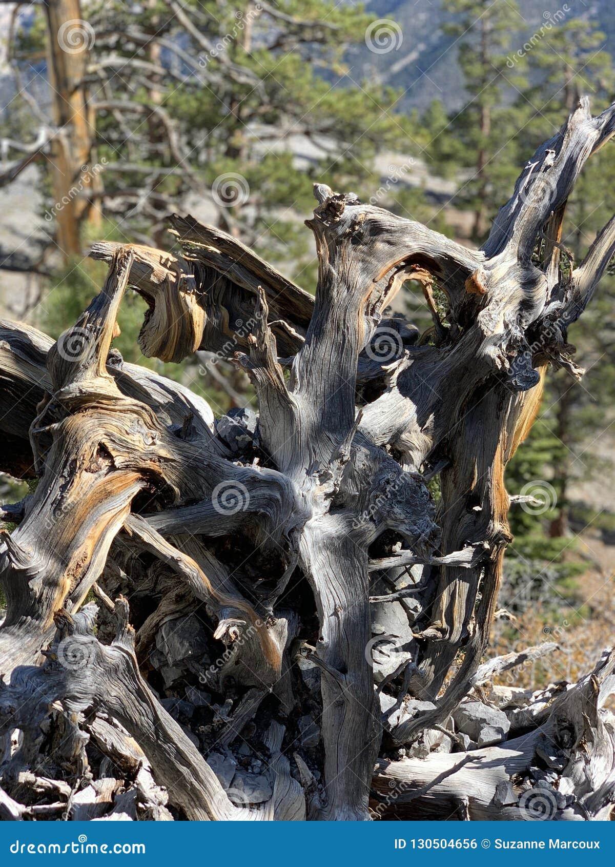Górny Bristlecone pętli ślad, Mt Charleston, Nevada