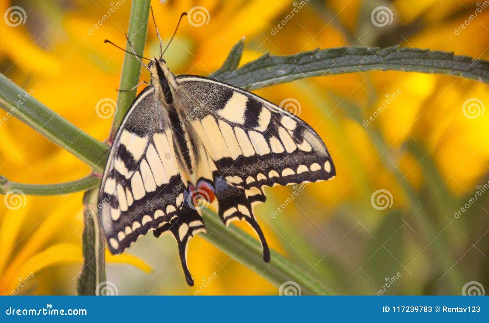 Górny widoku widok piękny pospolity żółty swallowtail motyl