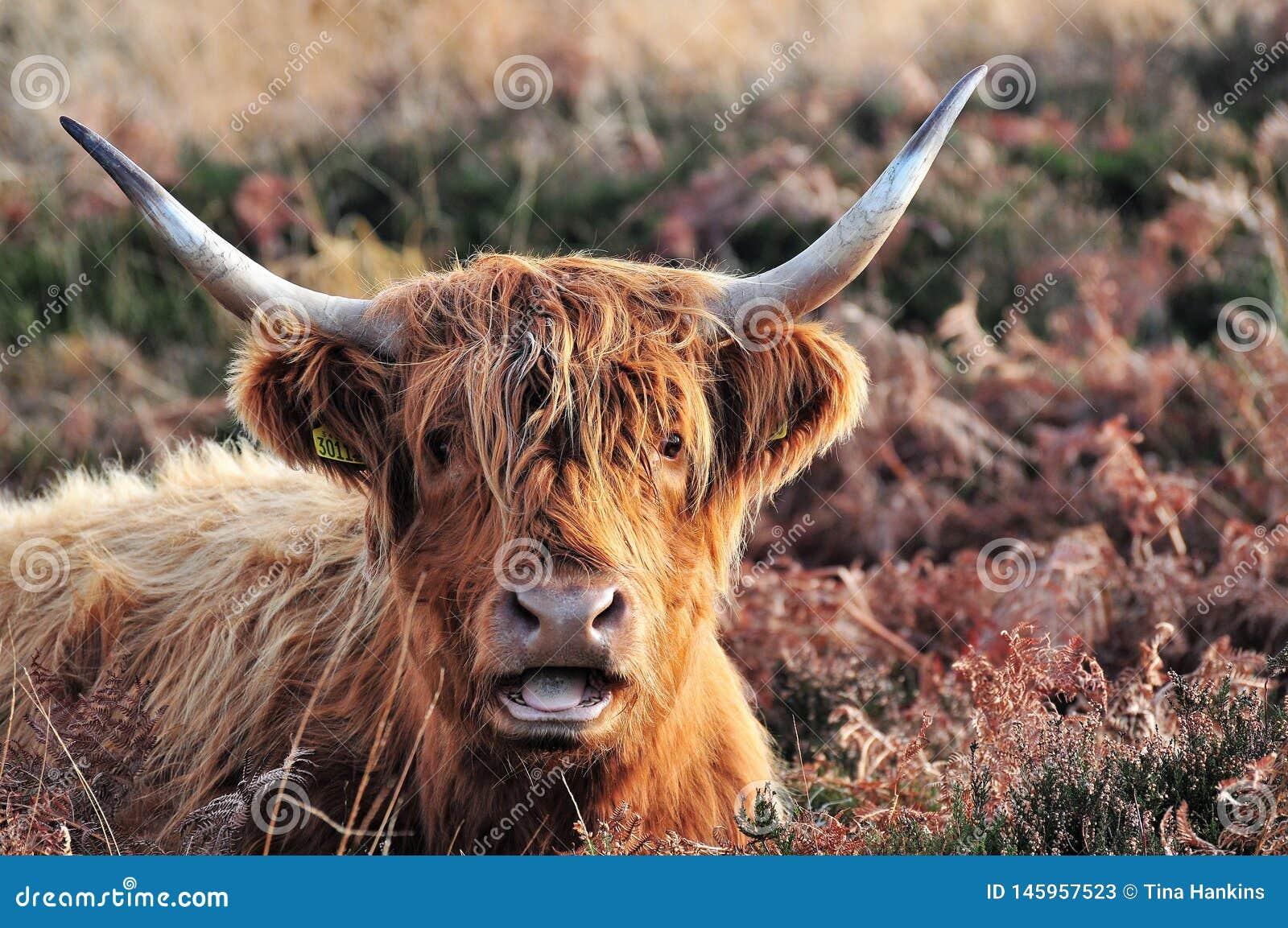 Górska krowa mówić z dużo