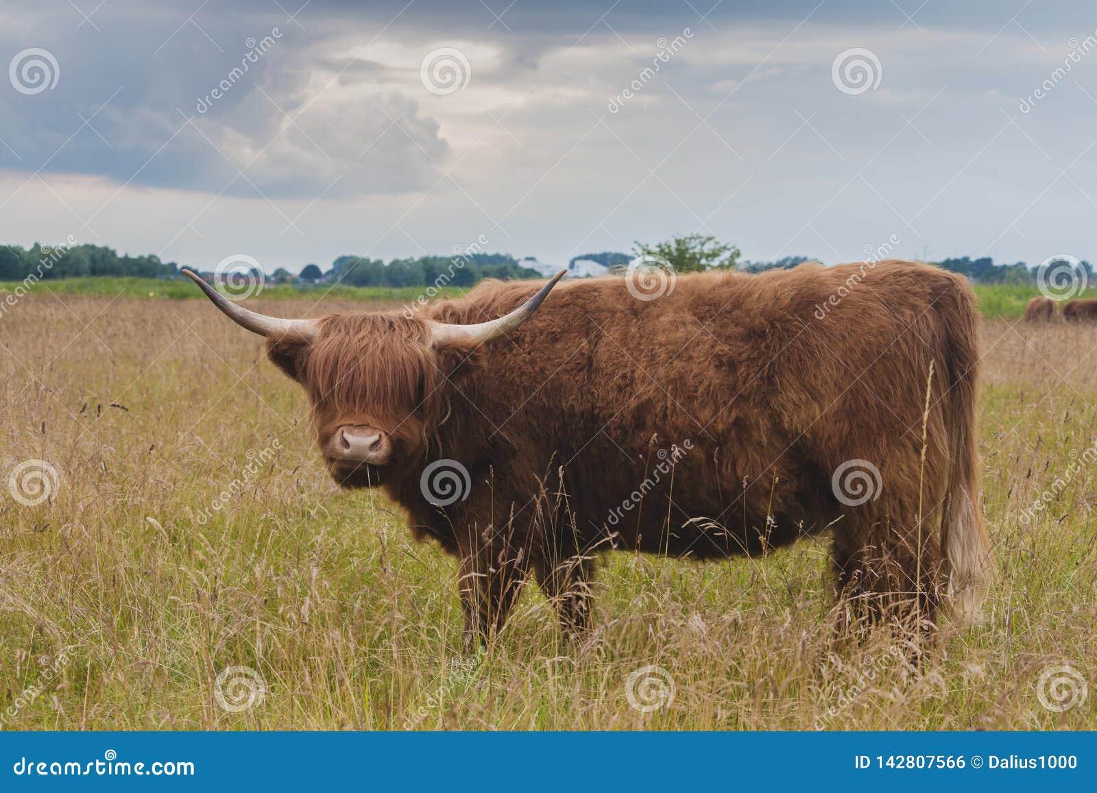 Górski bydło byk na greenfield burzowych chmurach za