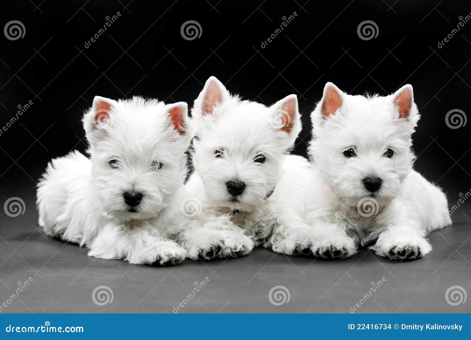 Górski szczeniaków teriera na zachód biel