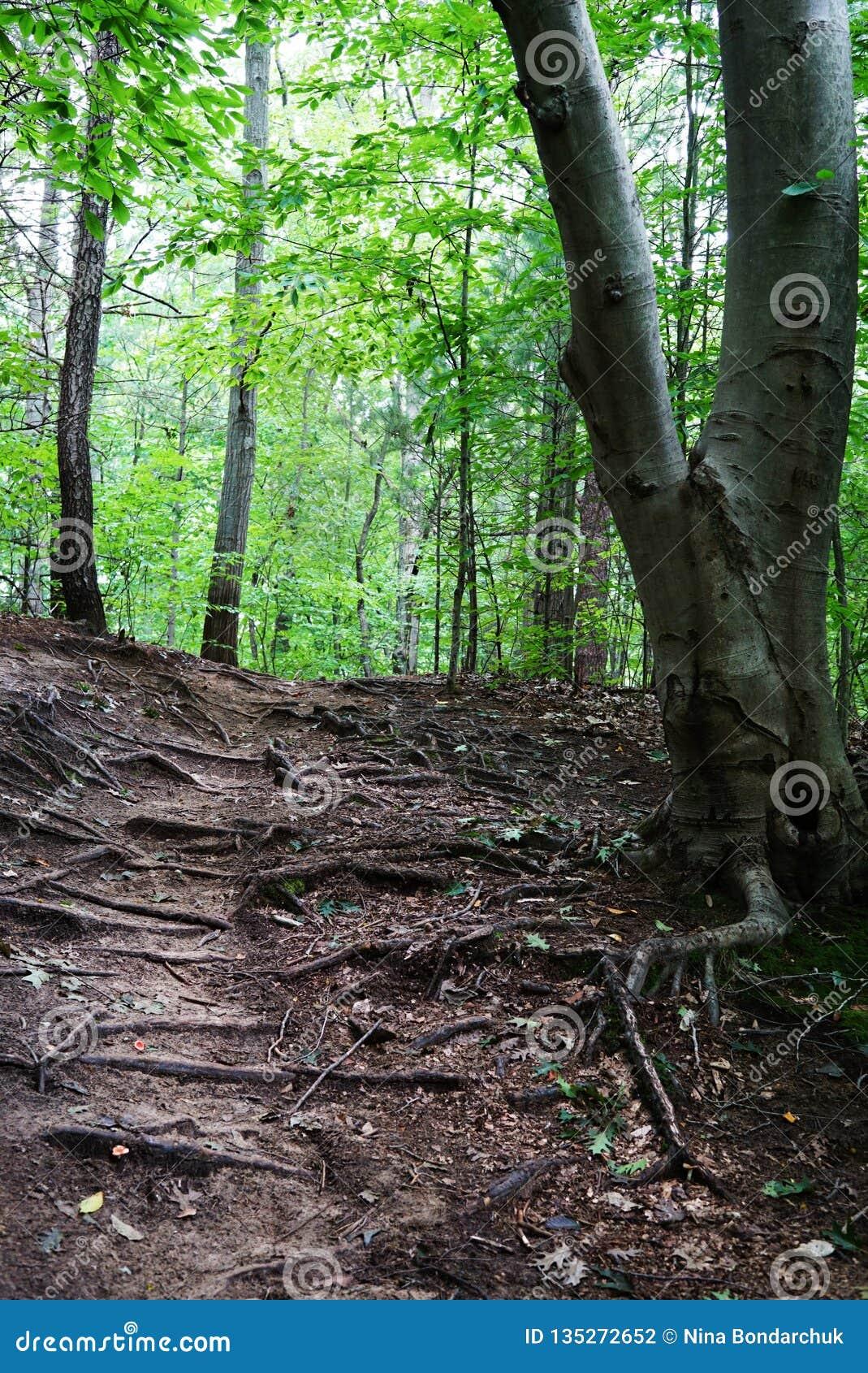 Góry scena z zielonym lasem, droga przemian i dużymi korzeniami drzewo,