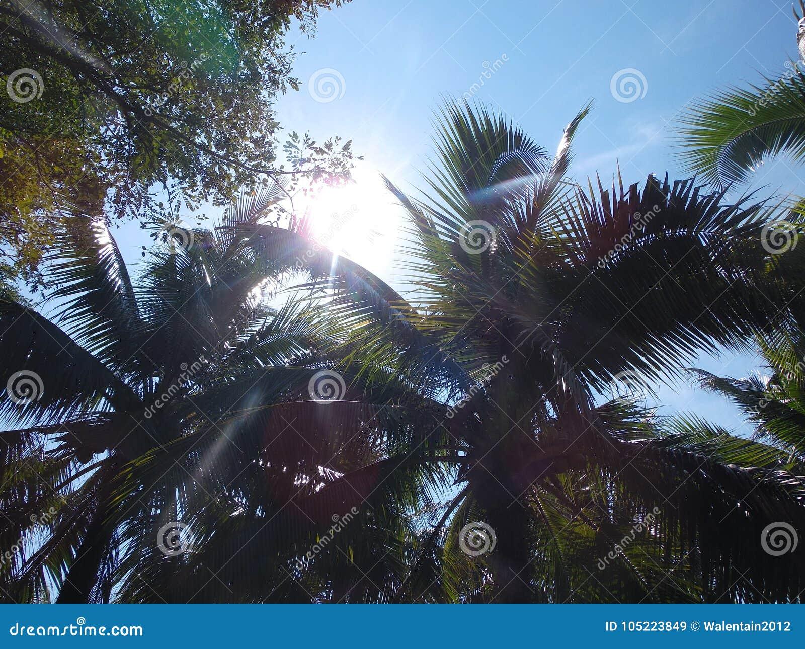 Gömma i handflatan kokospalmen, exotiskt soligt landskap med himmelsikt Grön filial med sidor, blå himmel med den ljusa solen