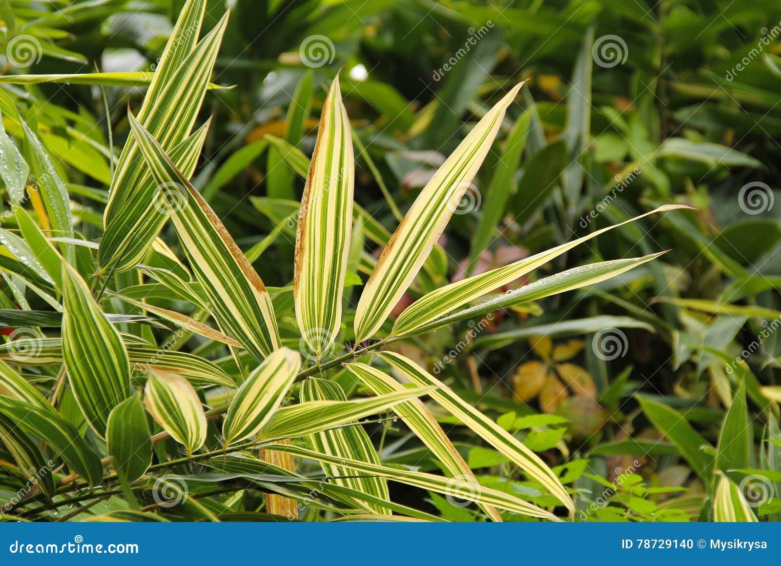 Görade randig leaves