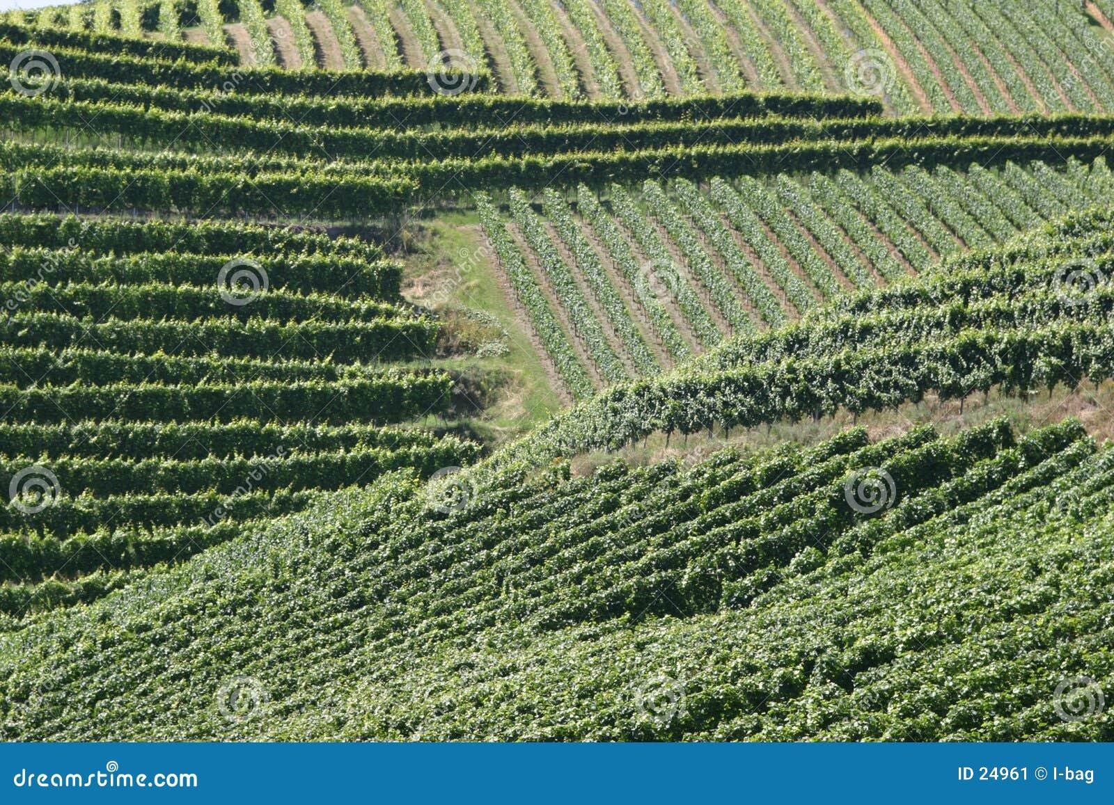 Görar randig vingårdar